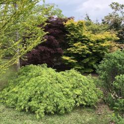 Le jardin des érables (japonais)